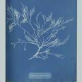 11887 Anna Atkins image algae 04