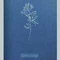 11887 Anna Atkins algae image 02