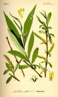 med white willow salix alba 181x300